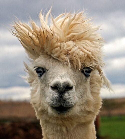 Best ALPACAS LLAMAS Images On Pinterest Nature Baby - 22 hilarious alpaca hairstyles