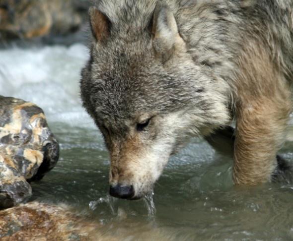 Wolf in Golden, British Columbia, Canada