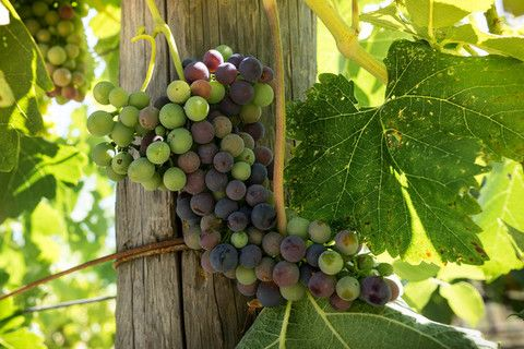 In 2014, the Sonoma County Winegrowers announced its goal to become America's…