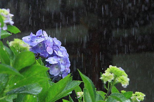 """日本人は「梅雨(つゆ)」が好き?こんなにたくさんある!「梅雨」がつく季語。 Nihonjin wa """"tsuyu"""" ga suki? Konnani takusan aru! """"Tsuyu"""" ga tsuku kigo. Orang jepang suka """"musim hujan""""? Ada begini banyak! Istilah musim yang mengandung """"musim hujan""""."""