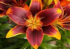20+ Lily Flower Bulb Varieties For Sale | Buy Lily Bulbs At Eden Brothers