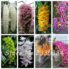 Frete grátis! vendendo bonsai sementes sementes de flores Pendurados sementes Dendrobium, vasos de Semente de Flor Bonsai Plantas de Orquídeas Raras 50 pcs(China (Mainland))