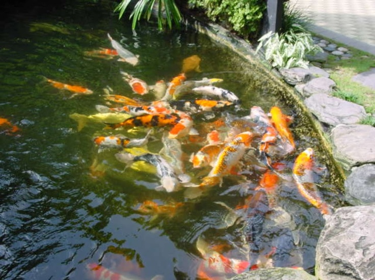 74 best ponds fountains and garden waterfalls images on for Japanese pond fish