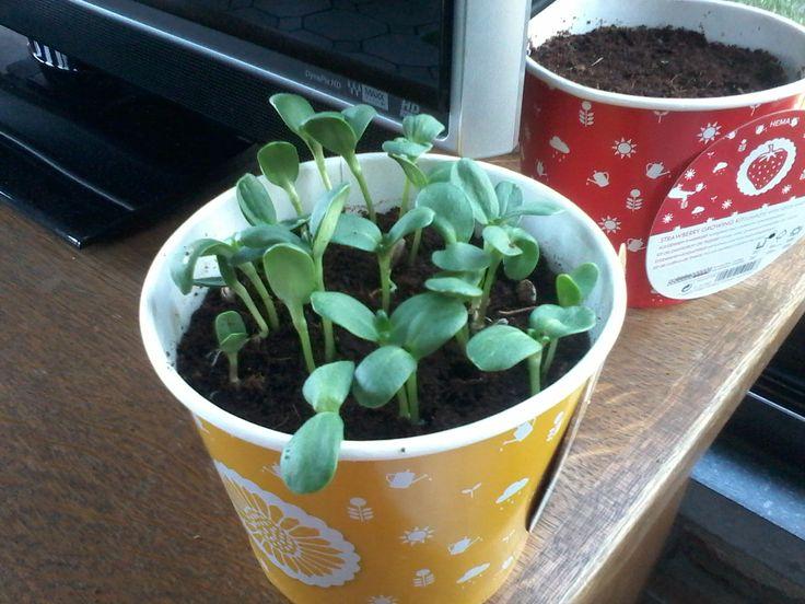 Na een week staat de pot met zonnebloemen al goed vol.