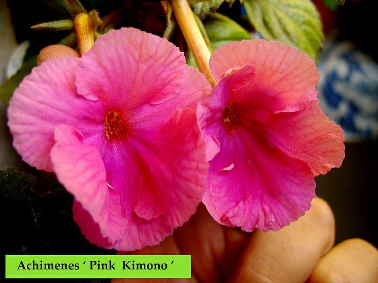 Achimenes ' Pink Kimono '
