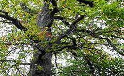 Perstorp. Naturreservat med sällsynta mossor och lavar. Hålhäckande fåglar som skogsduva, större hackspett och gröngöling. Markerade stigar. Perstorp.
