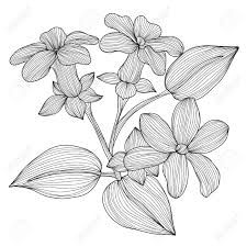 Image result for stephanotis drawing