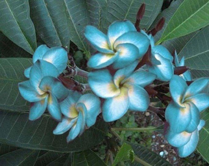 10 Rare Dark Orange Plumeria Seeds Plants Flower Lei Hawaiian Garden Fragrant Tree Hawaii Wedding Pa
