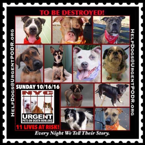 TO BE DESTROYED 10/16/16 - - Info  Please Share:    To rescue a Death Row Dog, Please read this:http://information.urgentpodr.org/adoption-info-and-list-of-rescues/   To view the full album, please click here: http://nycdogs.urgentpodr.org/tbd-dogs-page/ Please Share:-  Click for info & Current Status: http://nycdogs.urgentpodr.org/to-be-destroyed-4915/