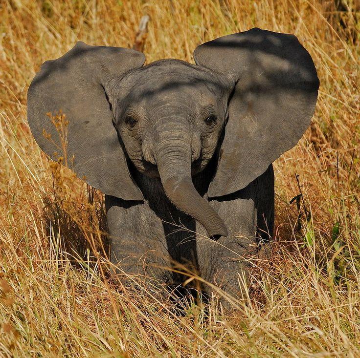 baby elephantAfrican Elephant, Baby Elephants, Elephant Ears, Baby Penguins, Baby Dolphins, Beautiful Creatures, Calves, Alex O'Loughlin, Animal
