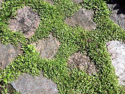 Krypkotula (Leptinella squalida)är en perfekt växt att ha mellan trampstenarna. Det går utmärkt att trampa på den och den täcker in fint så att annat ogräs inte får en chans.