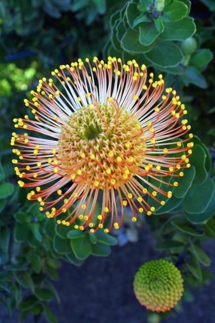 Protea Pincushions