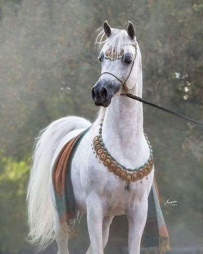 Kamal Ibn Adeed (Al Adeed Al Shaqab x NF Bint Sajha) - 2009 grey stallion - incredible bloodlines, including to Ansata Halim Shah, Ansata Nile Pasha, , Nazeer, Ansata Ibn Halima