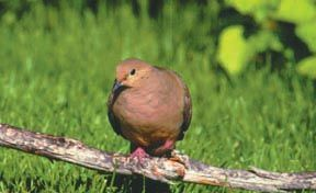 Tips for Dove Hunting