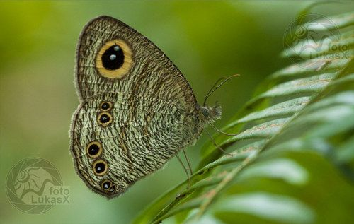 Motýl fousáč