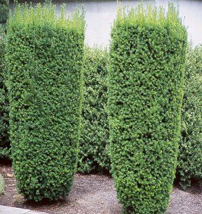 taxus x media hicksii used for the bear rabbit and. Black Bedroom Furniture Sets. Home Design Ideas