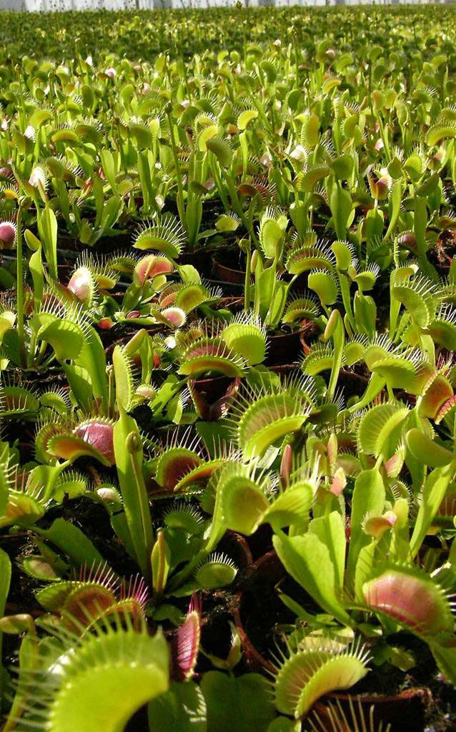 rocket-farms-venus-flytraps