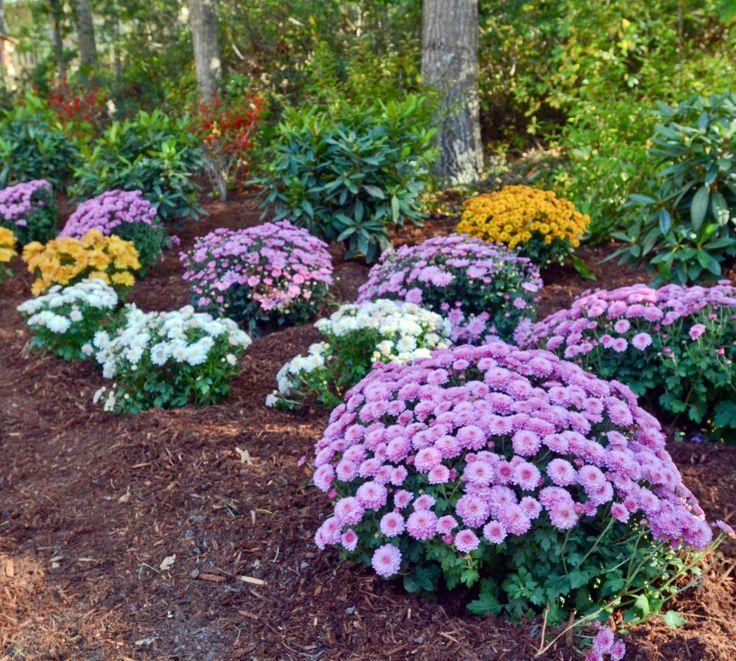 Fall Flower Mums: 25+ Best Ideas About Fall Flower Gardens On Pinterest