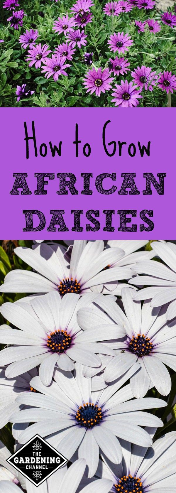African Daisies are easy to grow if planted in the correct location. Learn more favorable growing conditions for African Daisies and how to care for them.