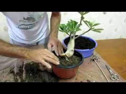 Como fazer o levantamento do caudex da Rosa-do-deserto - Jardineiro.net