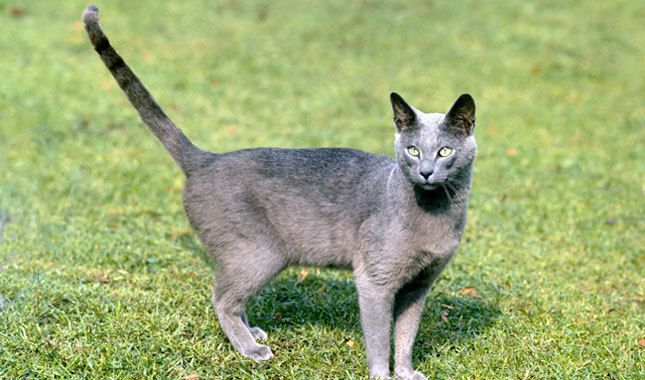 Silver Blue Cat With Green Yellow Eyes Cat Breeds Russian Blue