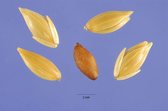 Semínko, které léčí cukrovku