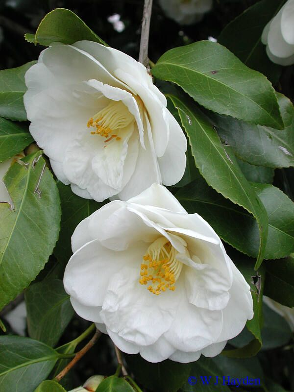 camellias camellia japonica grow and bloom better in partial shade with shelter from hot. Black Bedroom Furniture Sets. Home Design Ideas