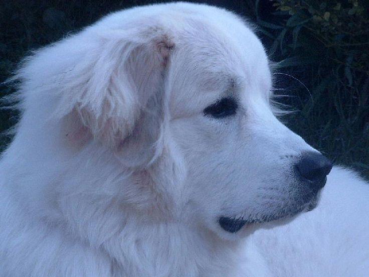Akira, Pyrenäen Berghund #Hund #dog #widPet - Hundemarken mit QR-Code