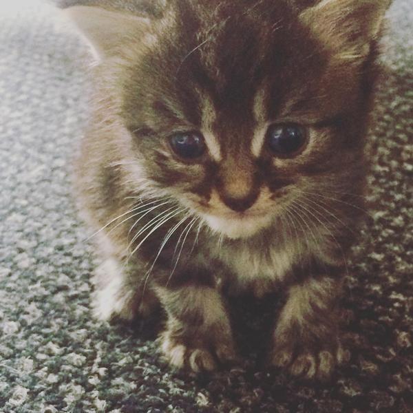 8 Week Old Tabby Kittens For Sale In Swindon Expired Friday Ad Tabby Kittens For Sale Tabby Kitten Kitten For Sale