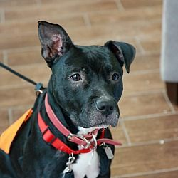 New York, New York - Pit Bull Terrier. Meet JELLY, a for adoption. https://www.adoptapet.com/pet/17301242-new-york-new-york-pit-bull-terrier-mix