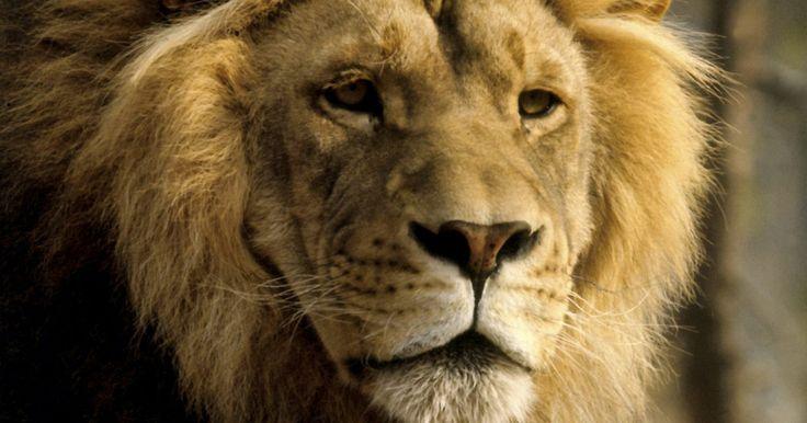 Cómo hacer que los hombres Leo se enamoren. Leo es el quinto signo zodiacal. Si el hombre que te interesa nació entre Julio 23 y Agosto 22, su signo es Leo. El hombre Leo está lleno de confianza y orgullo y aunque parezca ser feliz, preferiría tener la compañía de una admiradora. Los consejos astrológicos e información sobre el signo Leo pueden ayudarte en la parte de la seducción. Antes de ...