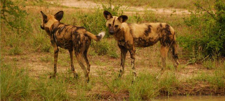 #wilddogs #africaonfoot #kruger #klaserie