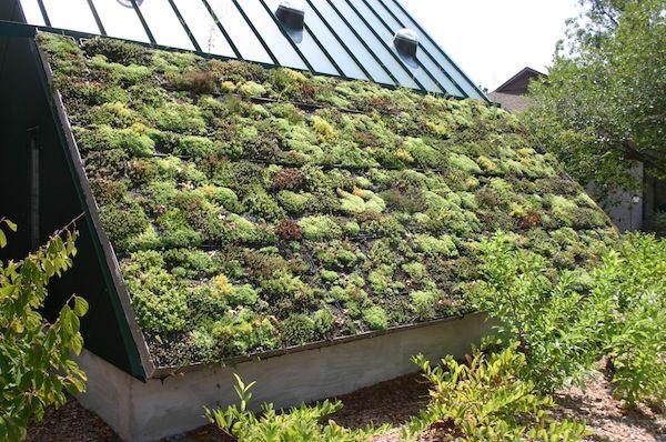 Groendak op een hellend dak. Mooie overgang van dakbedekking naar groen.