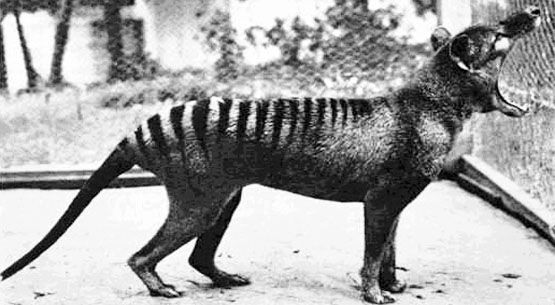 The Tasmanian tigerwolf became extinct on the mainland of