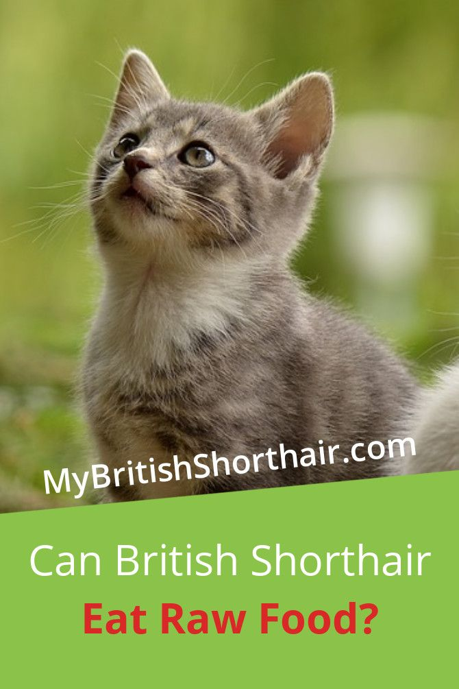 Can British Shorthair Eat Raw Food My British Shorthair British Shorthair Savannah Cat Price Feline Health