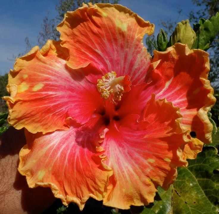Die Besten 17 Bilder Zu Flowers Auf Pinterest | Teerosen, Tulpe ... Garten Ideen Tropisch Exotisch Bilder