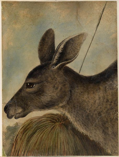 Gerard Krefft, 'Profile of a kangaroo'. From his Album of watercolour drawings, ca. 1857-1858, 1861, 1866. Mitchell Library, State Library of New South Wales: http://www.acmssearch.sl.nsw.gov.au/search/itemDetailPaged.cgi?itemID=63890