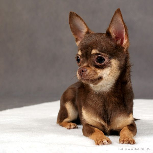 598 best Chihuahuas, chocolate, brown or black and tan 1 ...