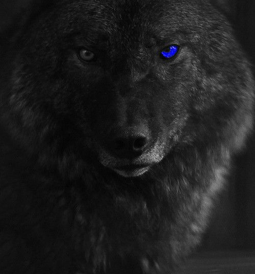 wolf in black and - photo #44