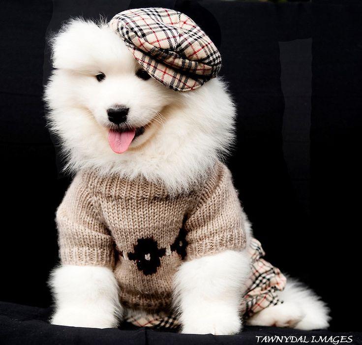 Samoyed Puppy – Hunde, die einen verzaubern können