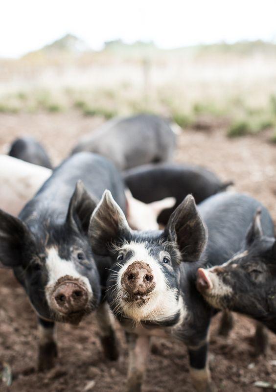 Pigs having their photo taken