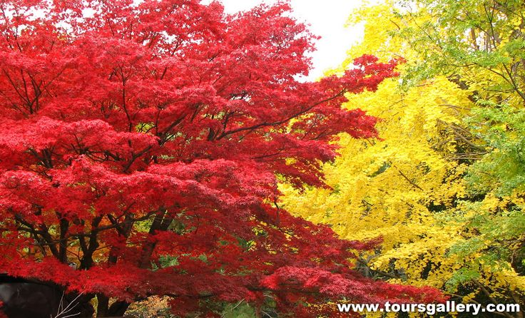 Spectacular contrasting autumn leaves or as Americans say .. fall foliage in Japan with www.toursgallery.com