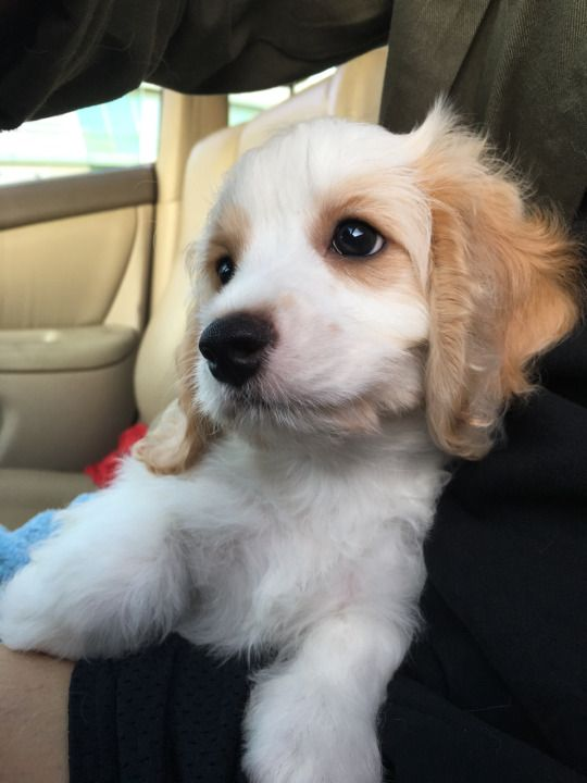 "handsomedogs: ""My cavalier King Charles spaniel/bichon frise mix"""