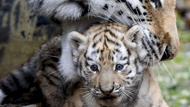 Trois tigres de Sibérie sont nés à Besançon