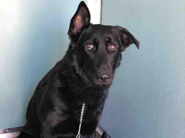 German Shepherd Dog dog for Adoption in Moreno Valley, CA. ADN-637071 on PuppyFinder.com Gender: Female. Age: Young