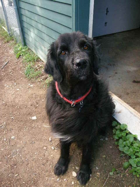 Newf Club of New England Rescue and Referral Service - http://www.newfclubne.org