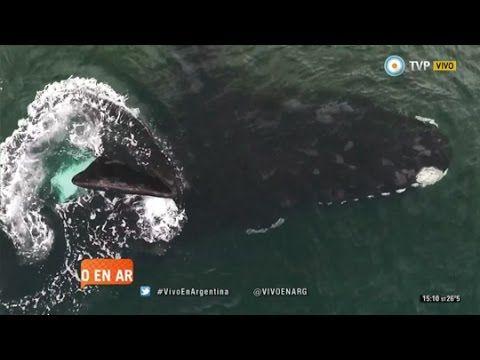 Vivo en Arg - Avistaje de #ballenas en Puerto Pirámides - 15-09-15 #Argentina