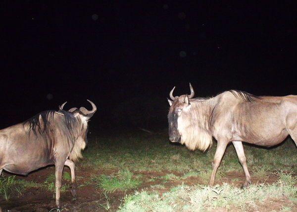I just classified this image on Snapshot Serengeti!
