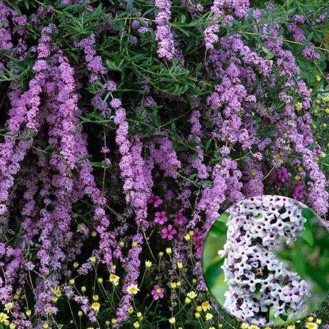 Buddleja alternifolia Argentea