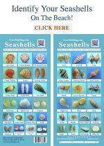 I great guide for shelling on Sanibel - Identify Seashells Guide